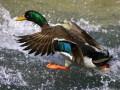 На выходных в Киевской области будет открыт сезон охоты на пернатых