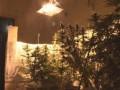 В Одессе обнаружили плантацию голландской марихуаны
