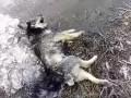 В Кривом Роге полицейский наколол на вилы собаку и бросил в костер