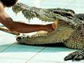 В Индонезии крокодил перекусил мужчину пополам