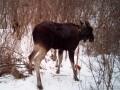Спасение утопающего: в Харьковской области лося вытянули из ледяной реки