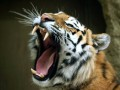 Во Флориде из желудка тигра удалили почти двухкилограммовый комок шерсти