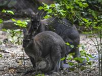 В Кременчуге у пары кенгуру пополнение