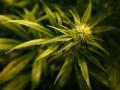 В Нидерландах поддержали легализацию выращивания марихуаны