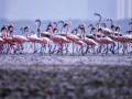 Розовые фламинго наводнили города Индии