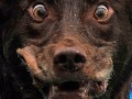 Вспышка бешенства в Полтаве: Число пострадавших от укусов собаки возросло до 35 человек