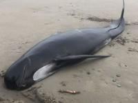 В Канаде десятки людей участвовали в спасении кита