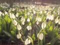 В Черкасской области расцвели гектары редких подснежников