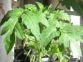 Американский подросток перепутал томатный куст с марихуаной