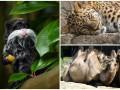 Животные недели: усатый тамарин, ленивый леопард и верблюды-сплетники