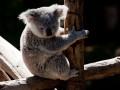 В Австралии коала проехала 16 км на оси внедорожника