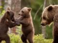 Три медведя устроили