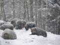 Теплая зима мешает закарпатским медведям уснуть