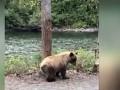 Медведь, станцевавший
