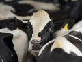 Украина запретила импорт КРС из-за лихорадки