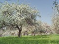 На Одесчине в конце июля расцвели яблони и груши