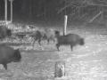 В Беларуси засняли, как зубры отбились от стаи волков