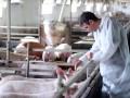 Под Винницей сожгли более тысячи свиней из-за африканской чумы