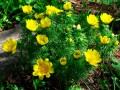 Показаны фото, как под Киевом летом цветут редкие весенние цветы