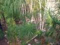 Под Николаевом 50-летняя женщина вырастила плантацию конопли