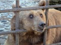Слепым медведям-пьяницам из Сочи нашли приют в Румынии