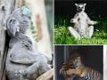 Животные недели: медитации лемуров и коалы и нежности тигров