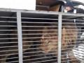 В запорожском зоопарке умер один из замученных в Покровске львов