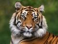 В окрестностях Парижа полиция ловит тигра