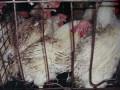 Ъ:Украинские производители курятины переживают отличные времена