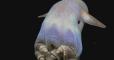 У берегов США ученые запечатлели ушастого осьминога