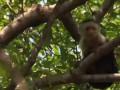 В Мексике две недели ловили сбежавшую обезьяну