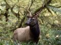 В Канаде влюбленного в корову оленя вывезли в горы