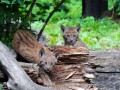 В Киевском зоопарке у карпатской рыси родились двое котят