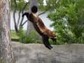 Крошка панда, кенгуру-экстримал и росомаха-супергерой - животные недели