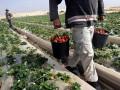 В Эстонии фермеры просят вернуть заробитчан на сбор урожая