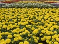 В Киеве на высадку цветов потратят 15 млн грн