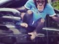 В Киеве обезьяна в футболке развлекала водителей (фото)
