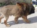 В Испании заметили льва, но он оказался собакой