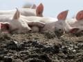 В Украине выявлен вирус африканской чумы свиней