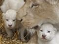 В польском зоопарке родились белые львята