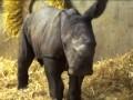 В Датском зоопарке впервые за 35 лет родился белый носорог