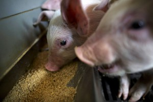 Чума свиней: карантин введен в 21 населенном пункте Украины