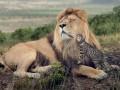 Маленькие кошки могут вести себя, как большие (ФОТО)