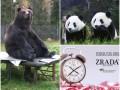 Хорошие новости 6 ноября: новый бренд Zrada, медвежье искусство и язык панд