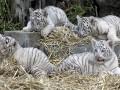 Белые красавцы: тигрята-альбиносы развеселили весь зоопарк (ФОТО, ВИДЕО)