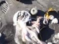 На Камчатке из-за разлива нефти погибли животные