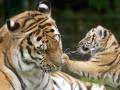 Животные недели: Тигренок с мамой, гигантская панда и лондонские чайки