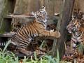 Юные тигры Вашингтона и дикая киевская рысь: лучшие ФОТО животных недели