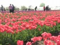 В Херсонской области расцвели 300 тысяч тюльпанов