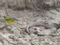 Хит Сети: маленькая птичка выпотрошила живую змею